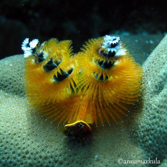 yellow xmas tree worm
