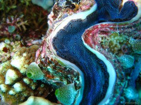 blue clam