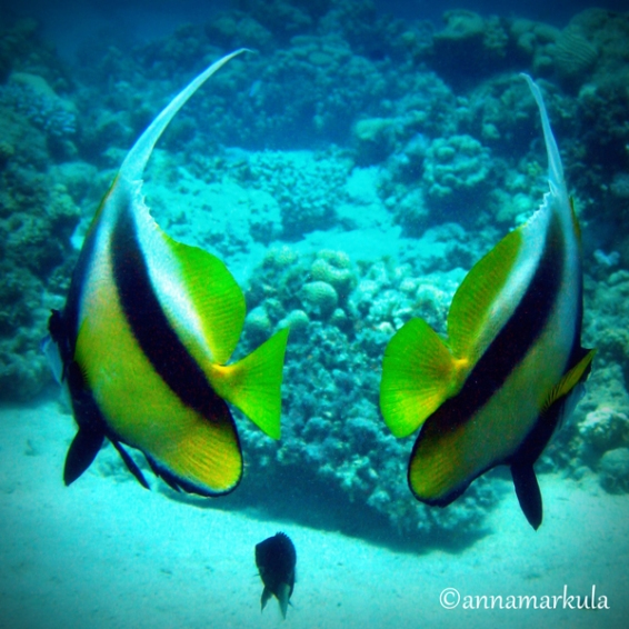 retro bannerfish