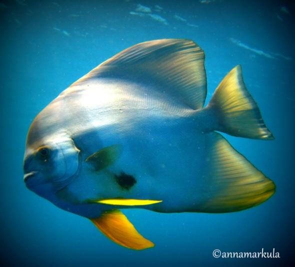 retro batfish
