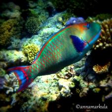 retro parrotfish