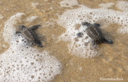 pair_baby_turtles