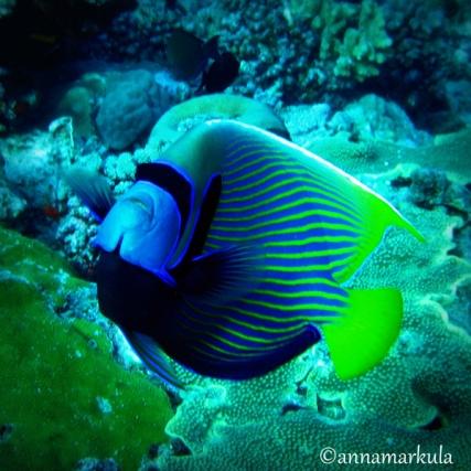 emperor_anglefish_lomo