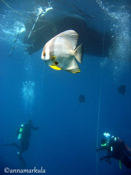 batfish_safetystop