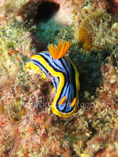 chromodoris_elisabethina