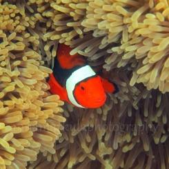 anemone_fish_square