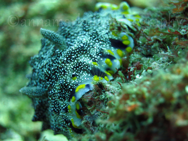 Spot-Margined_Chromodoris