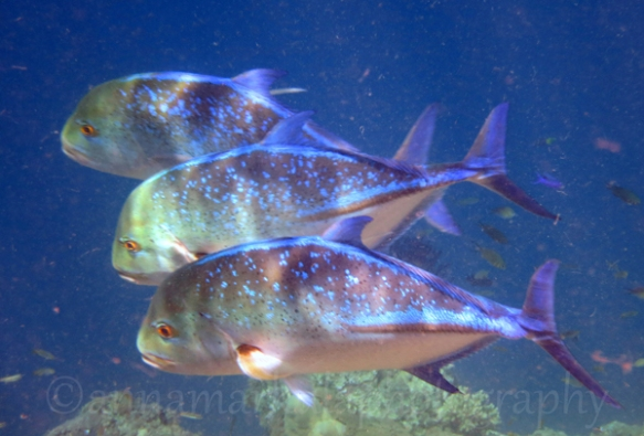 bluefin_trevally