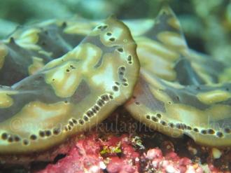 clam_fold
