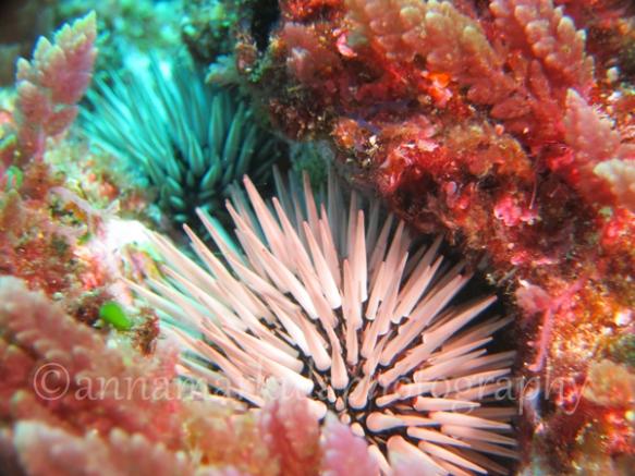 soft_pink_urchins