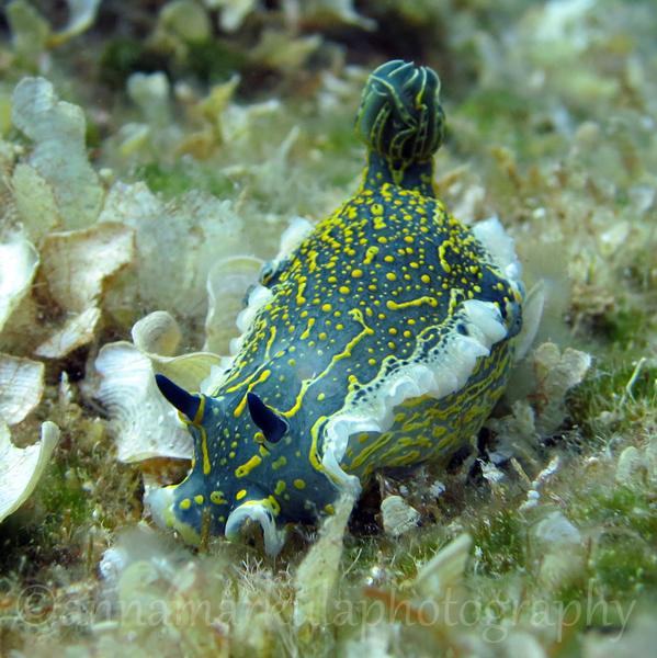 hypselodoris_picta Croatia underwater