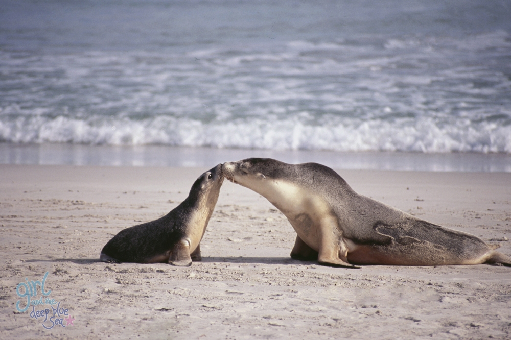 female sealion kissing pup on beach