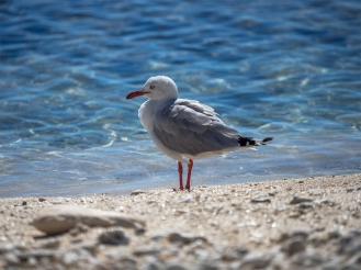 Seagull Sparkle